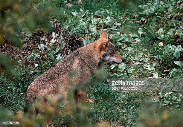 Italian Wolf or Apennine wolf Canidae National Park of Abruzzo Lazio and Molise Italy