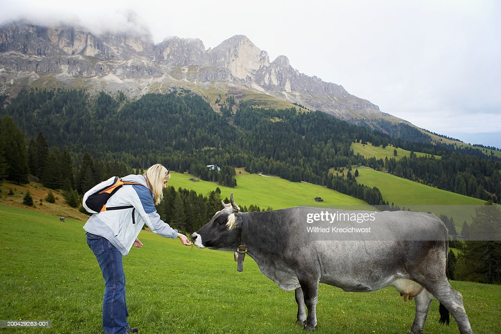 Italy, Alto Adige, young woman feeding grass to cow in valley : Stock Photo