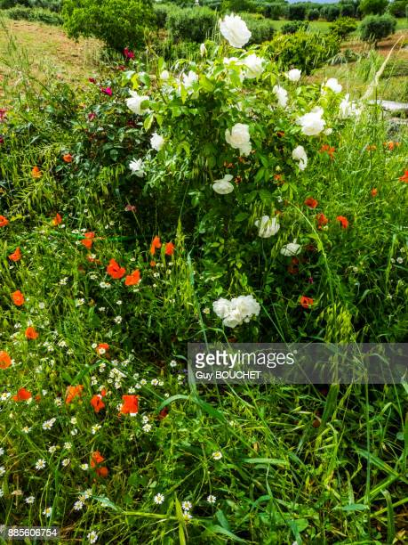 Italy, Apulia, Province of Brindisi, Cisterino, Pomona Gardens, blooming poppies and rose trees