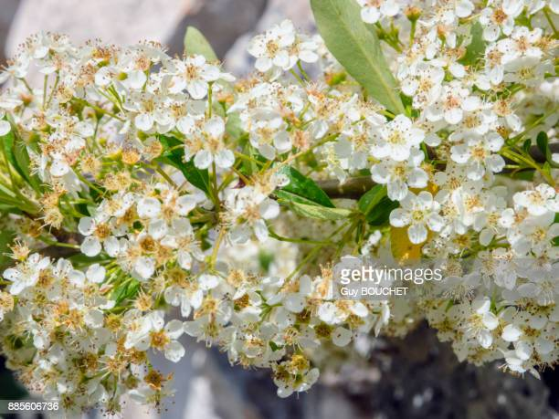Italy, Apulia, Province of Brindisi, Cisterino, Pomona Gardens, small white flowers