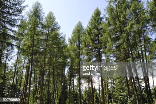 Italy, Balsegna di Pina, Pine tree forest