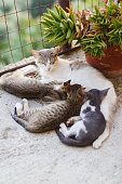 Italy, cat nursing kittens.