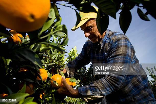 Italy, Caulonia, oranges harvesting