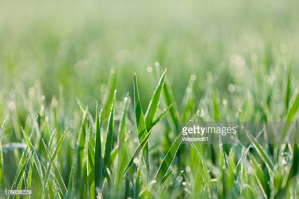 Italy, Grass with dewdrops in morning light, close up