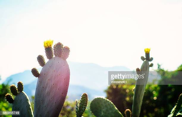 Italy, Liguria, blossom of a prickly pear in evening sun