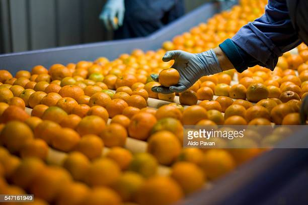 Italy, Limbadi, selection of tangerines