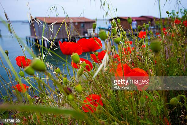 Italy, Porto Tolle, poppies along the river bank