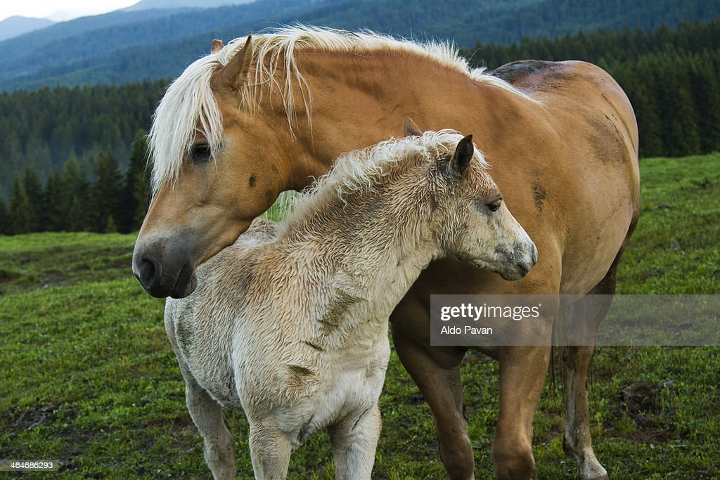 Italy, Primiero, Siror, mare with foal