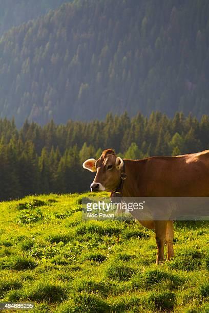 Italy, Primiero, Siror, Rolle pass, cow