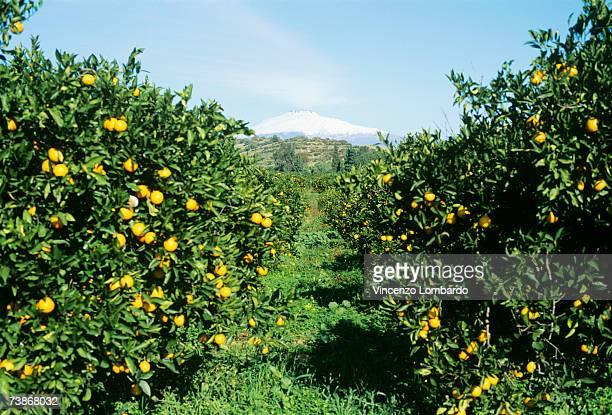 Italy, Sicily, Lemon orchard