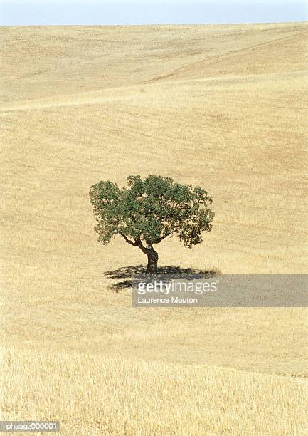 Italy, Sicily, olive tree in field