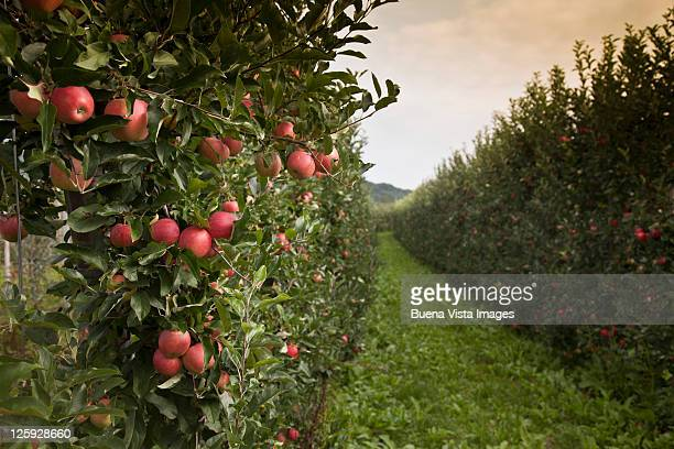 Italy, South Tyrol, apple trees near Caldaro