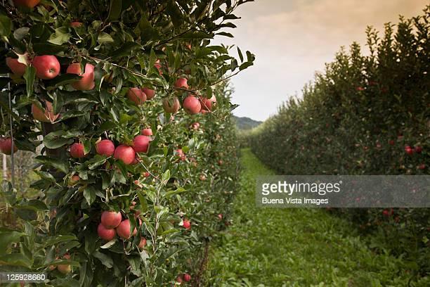 Italy, South Tyrol, apple trees near Caldaro
