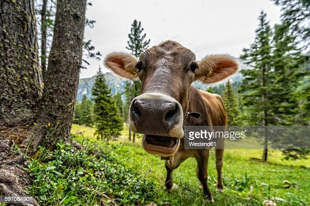 Italy, South Tyrol, Cow eating