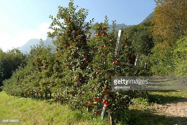 Italy Trentino Alto Adige Kaltern apple plantation