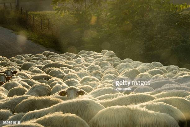 Italy, Tuscany, flock of sheep on a road
