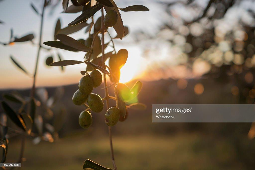 Italy, Tuscany, Maremma, olive tree at sunset