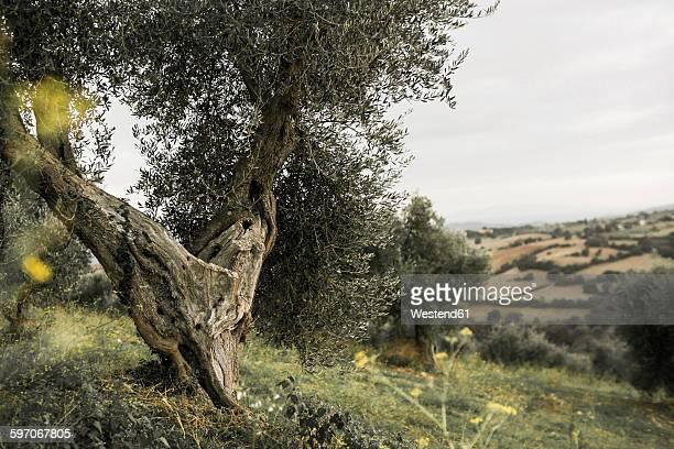Italy, Tuscany, Maremma, olive tree on hill