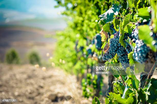 Italy, Tuscany, San Quirico d'Orcia, blue grapes at grapevine