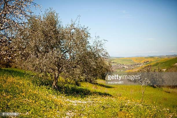 Italy, Tuscany, Volterra, olive tree on meadow