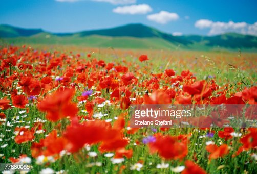 Italy, Umbria, Monti Sibillini National Park, Castellucchio, Flowering meadow, close-up : ストックフォト