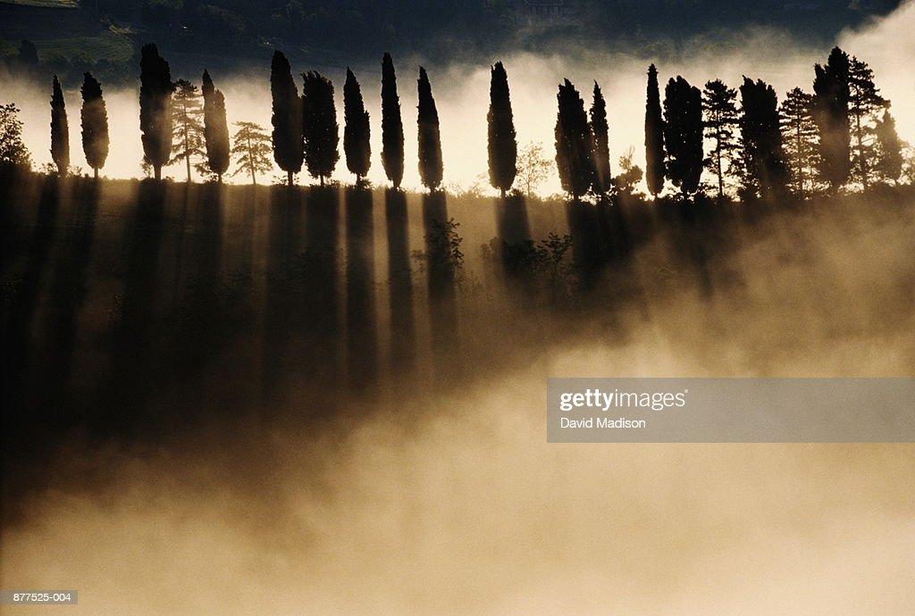 Italy, Urbino, cypress trees in fog : Stock Photo
