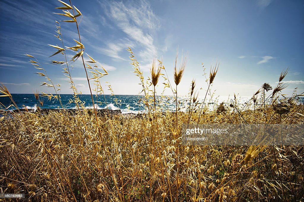 Italy, View of Wild Oat at Ionean sea : Stock Photo