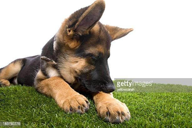 Itchy Deutscher Schäferhund Hund