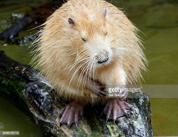 Itchy South American Coypu