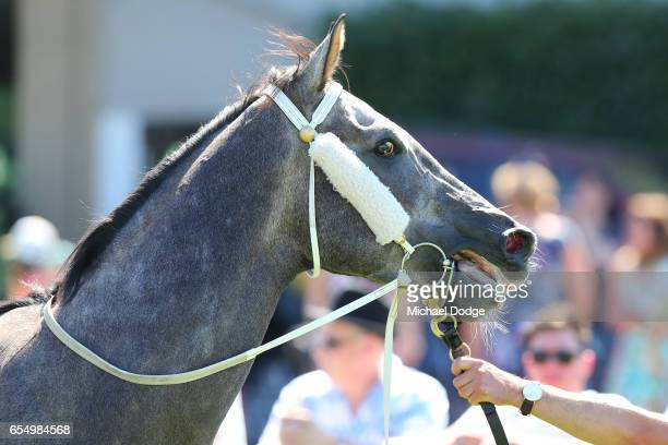 It's Pa after winning the Robert Rose Plate at Yarra Valley Racecourse on March 19 2017 in Yarra Glen Australia