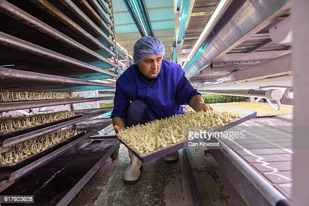 Iulian arranges seed trays in one of the Underground tunnels at 'Growing Underground' in Clapham on October 24 2016 in London England The former air...