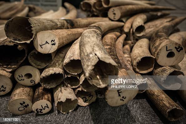 Ivory tusks are displayed by the Hong Kong Customs in Hong Kong on October 3 2013 According to Hong Kong authorities the customs conducted a series...