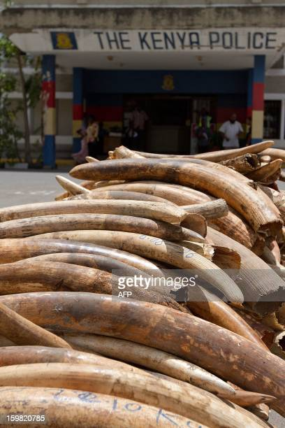 Ivory tusks are stacked on January 21 2013 at the port of Mombasa after their seizure by officials on January 15 Kenya Revenue Authority seized a...