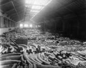 Ivory tusks covering the floor of a warehouse in London's docklands before they are sold