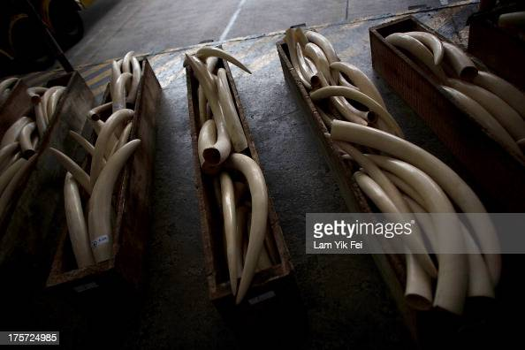 Ivory tusks seized by Hong Kong customs officials are displayed during a press conference on August 7 2013 in Hong Kong Customs officials at the Kwai...