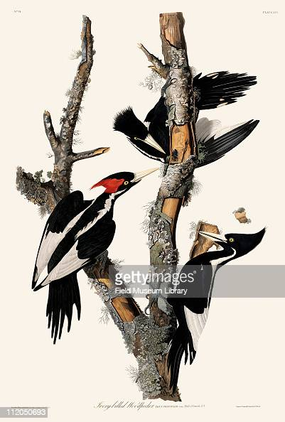 Ivorybilled Woodpecker Plate 66 from John James Audubon's Birds of America late 1830s