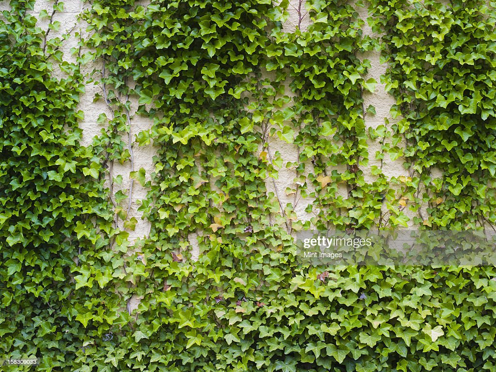 Ivy growing, a lush plant on a brick wall : Stock Photo