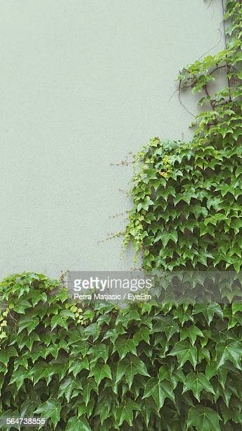 Ivy Growing Against Wall