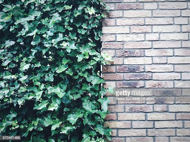 Ivy Growing By Brick Wall
