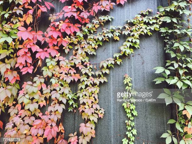 Ivy Growing On Autumn Leaves