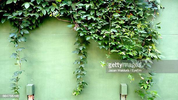 Ivy Growing On Green Wall