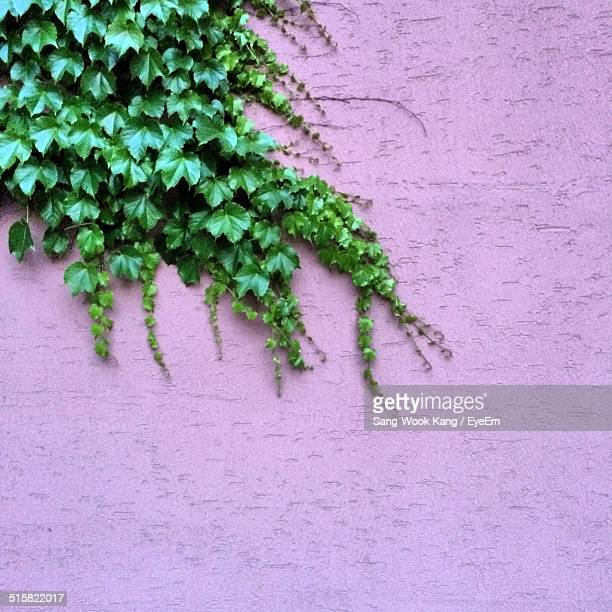 Ivy Growing On Purple Wall