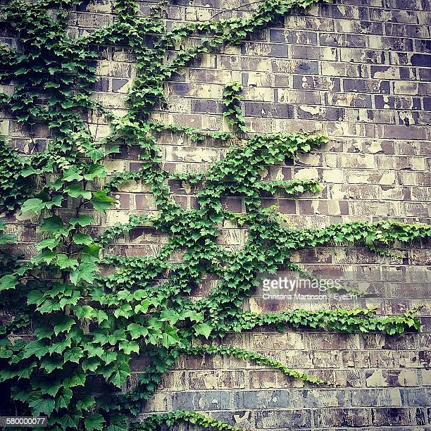 Ivy Growing On Wall Of Building