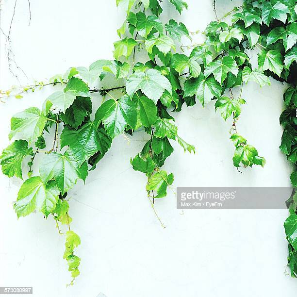 Ivy Growing On White Wall
