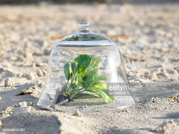Ivy inside bell jar in desert