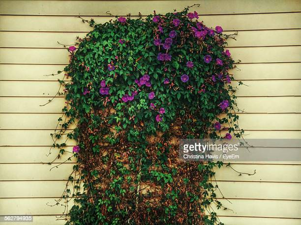 Ivy Of Common Morning Glory On Wall
