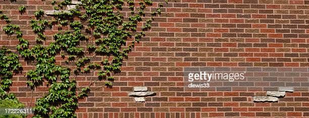 Lierre d'un mur de briques