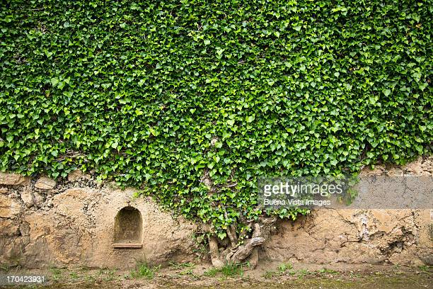 Ivy on a wall of Villa Cimbrone, Ravello