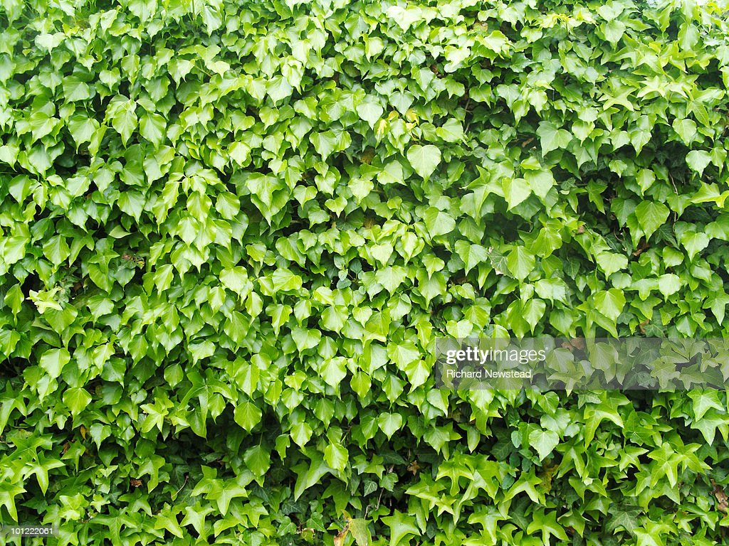 Ivy or Hedera : Stock Photo