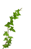 """ivy plant, isolated on white, clipping path included."""